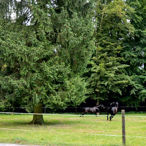 Galoppierende Pferde auf einer Weide im Stall Boskamp