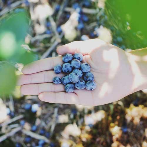 Geöffnete Hand mit Heidelbeeren